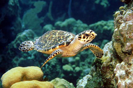 Hawksbill Sea Turtle critically endangered animals in india