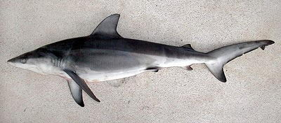 Ganges Shark critically endangered animals in india
