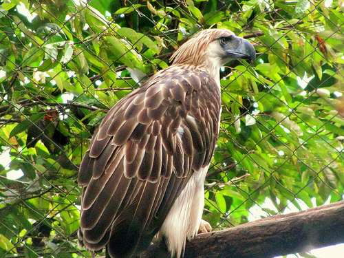 monkey-eating eagle - Endangered Animals in the Philippines Philippine Eagle