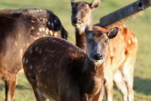 Philippine spotted deer (Rusa alfredi) Visaya - Endangered Animals in the Philippines