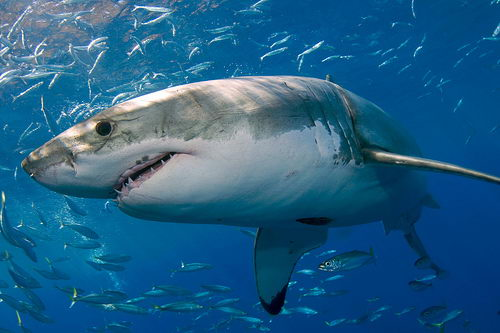 amazing great white sharks facts