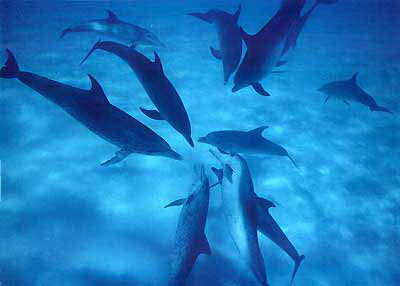 group of dolphins - facts about dolphins for kids