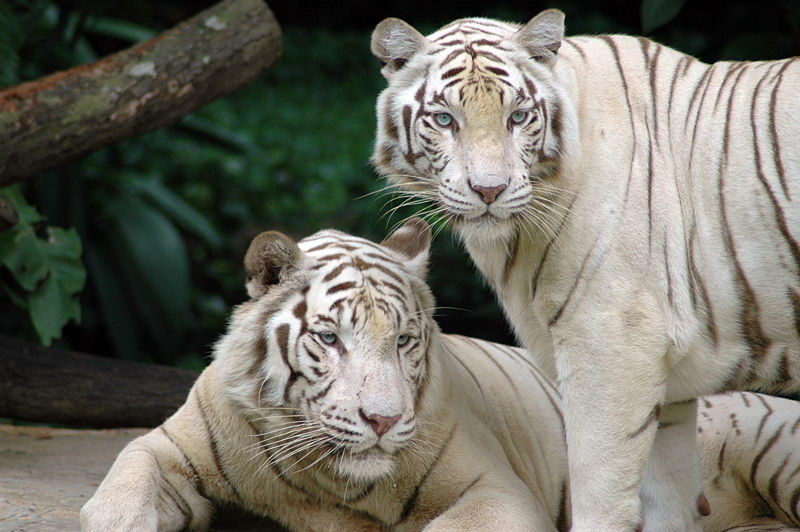 where do white tigers live | white tigers