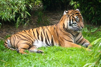 all about tigers - Tiger