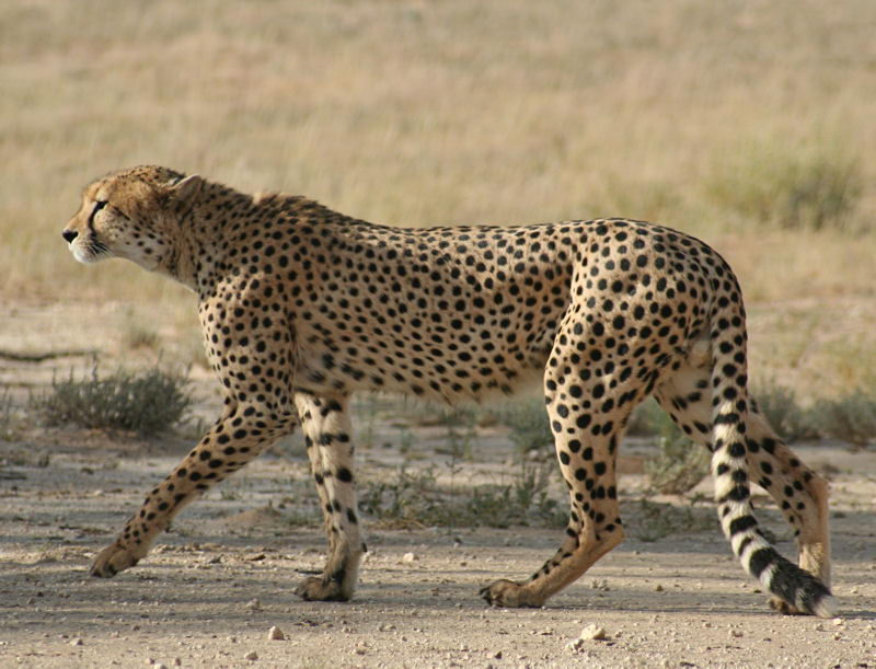 why are cheetahs endangered