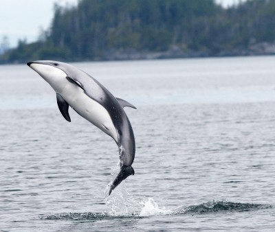 why are dolphins endangered