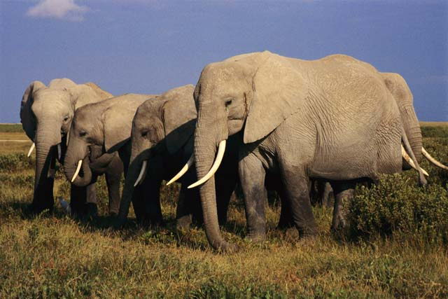 why are elephants endangered - herd of elephants