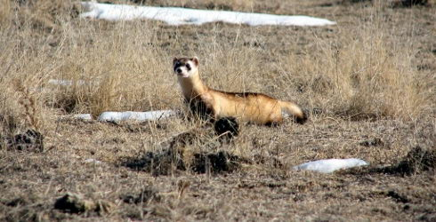 interesting black footed ferret facts for kids