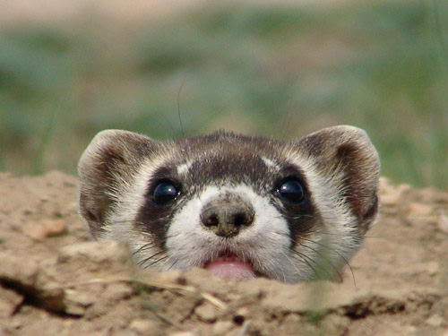 interesting black footed ferret facts for kids | black footed ferret
