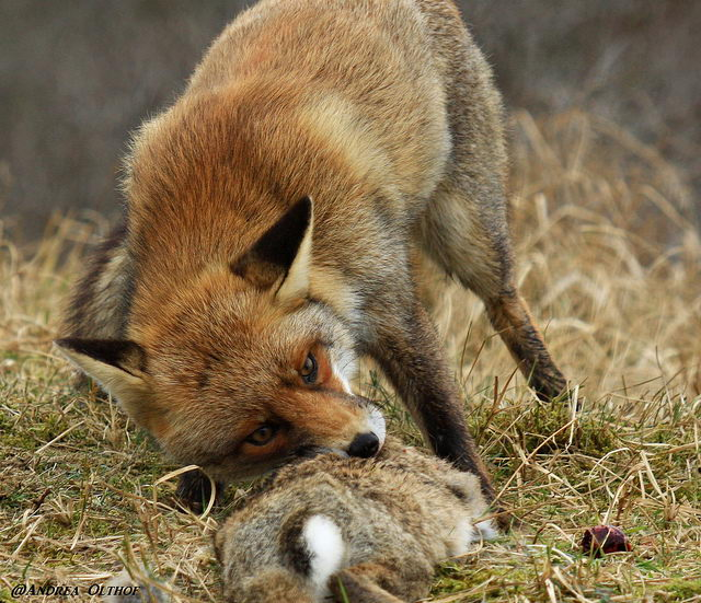 why do foxes eat cats - fox eating