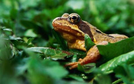 do frogs have teeth in its upper jaw