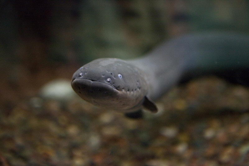 amazing electric eel facts