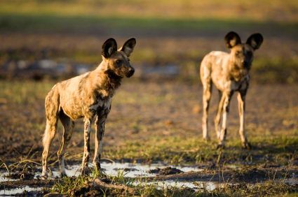endangered animals list for kids | african wild dog