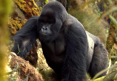 endangered animals list for kids | mountain gorilla