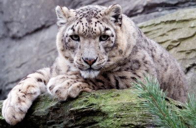 endangered animals list for kids | snow leopard