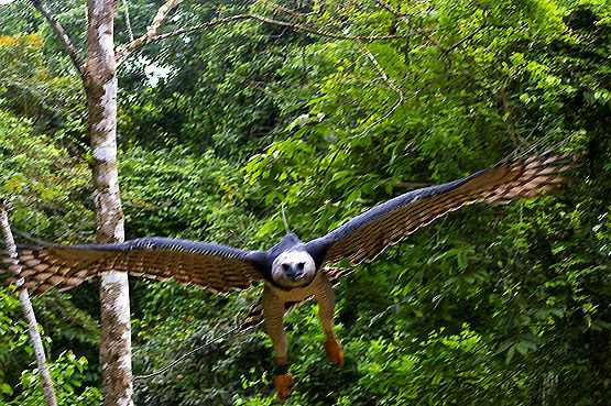 interesting harpy eagle facts