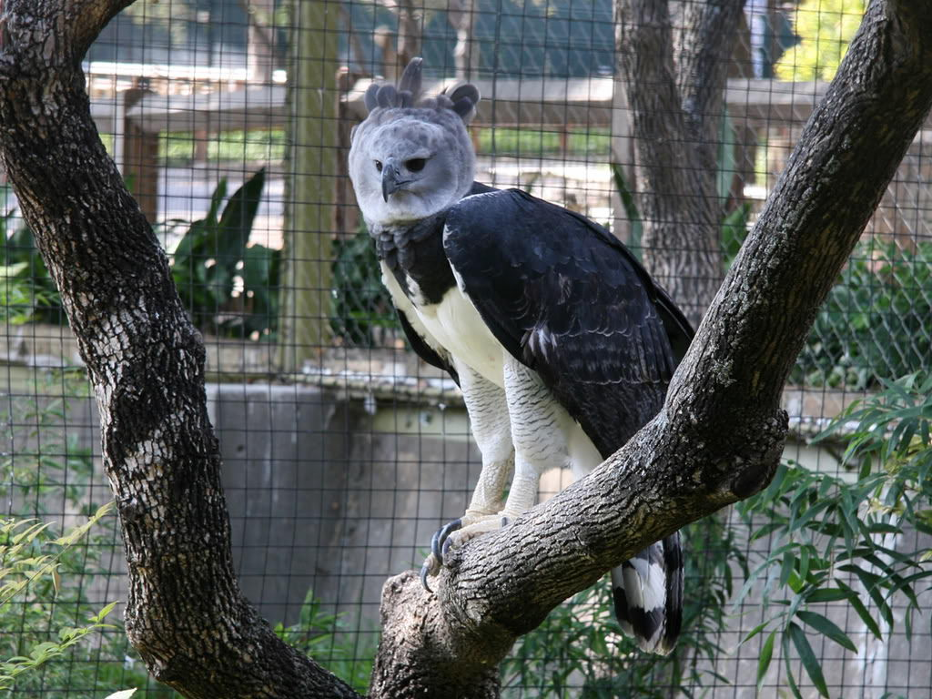 harpy eagle facts for kids