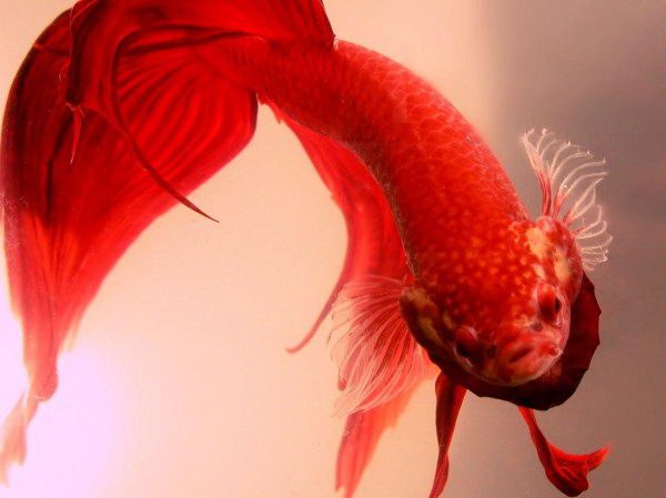how long do betta fish live in captivity