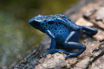 poison dart frog facts for kids