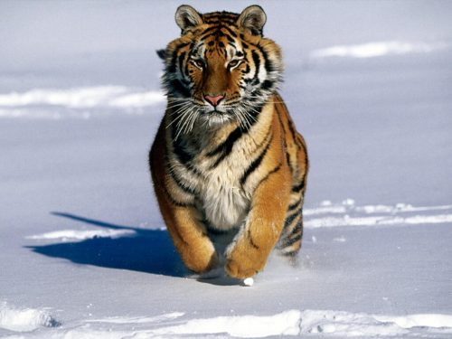 significant tiger information for kids