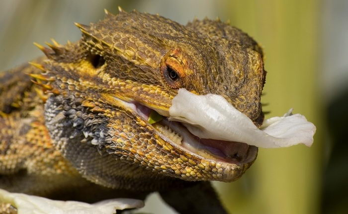 what do bearded dragons eat in the wild -  a bearded dragon