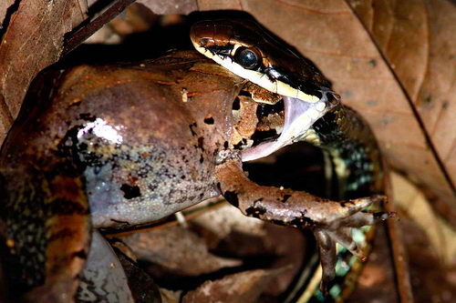 what eats frogs | snake