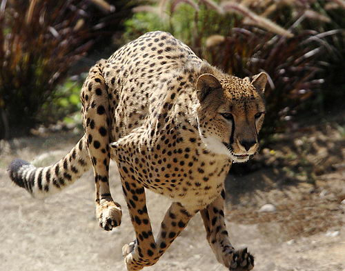 information about cheetahs