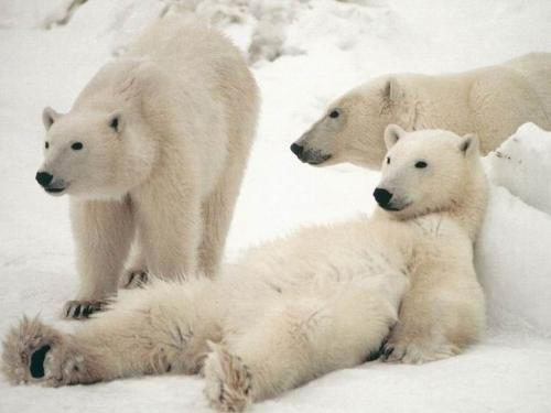 information about polar bears for kids | polar bears