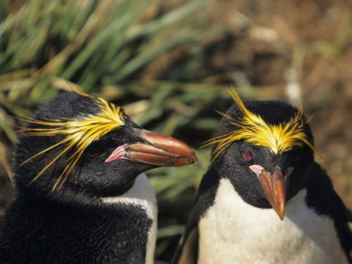 macaroni penguin facts | macaroni penguin