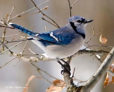 Blue Jay facts | Blue jay