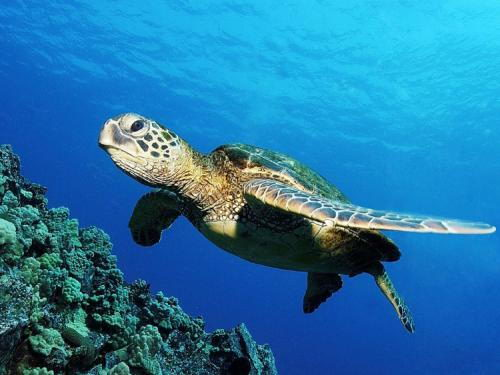 how long do sea turtles live in the wild