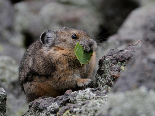 what do rats eat in the wild   rats diet