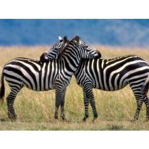 zebra facts for kids