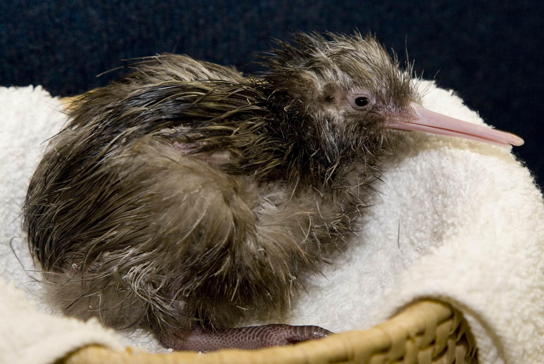 kiwi bird facts - The Zoo's brown kiwi chick hatched