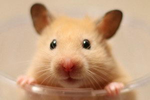 hamster facts for kids | hamster