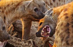 hyena facts for kids