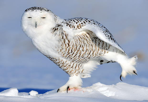 snowy owl facts for kids | snowy owl