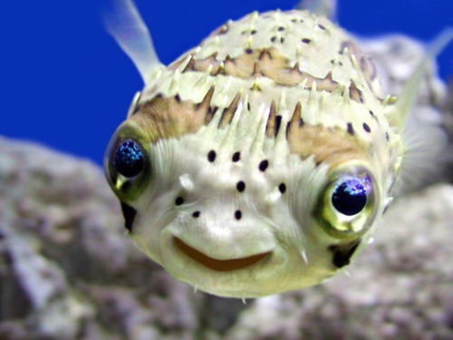 Balloon fish facts for kids