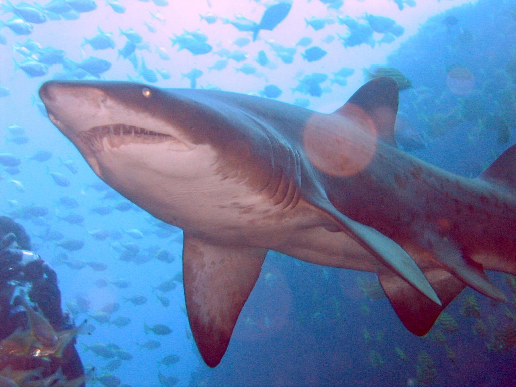 Grey Nurse Shark - Do Sharks Have Tongues