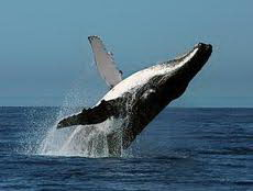 what do humpback whales eat