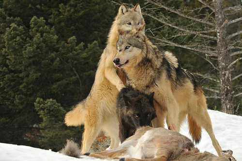 what do a wolf is diet