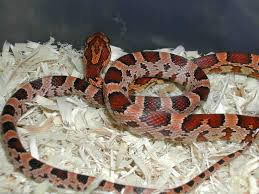 corn snake facts