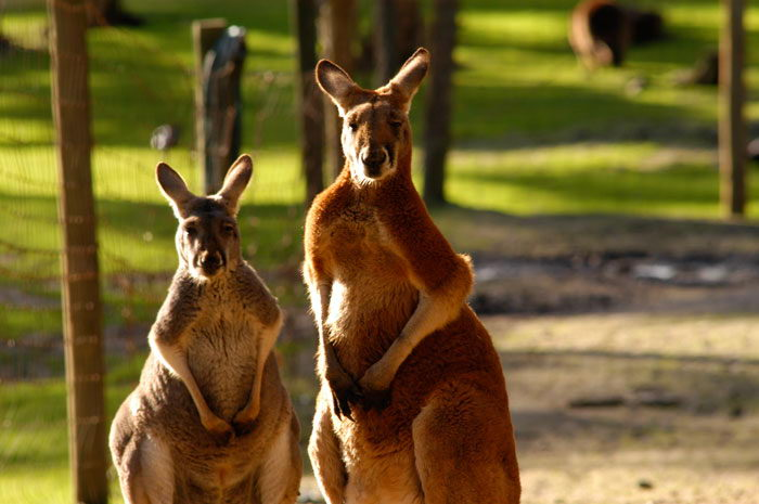 Red Kangaroo Facts | The Largest Marsupial