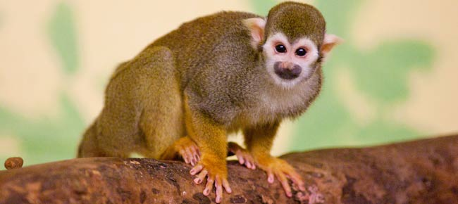 squirrel monkey facts