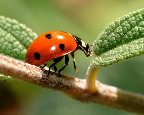what do ladybirds eat ladybugs feeding behavior and diet. Black Bedroom Furniture Sets. Home Design Ideas