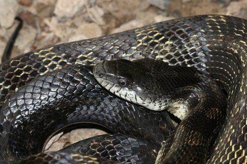 Black Rat Snake Facts | Largest Snake in the State