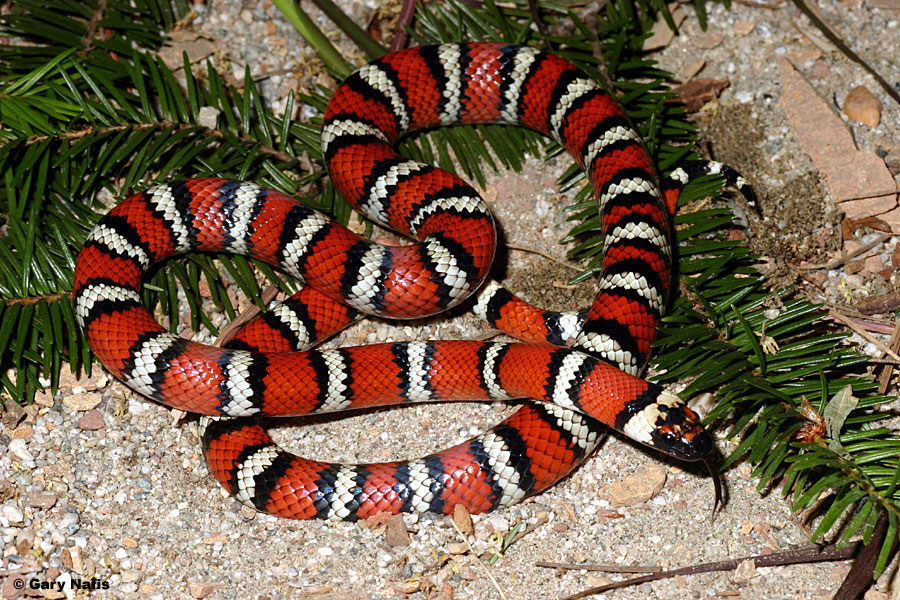 king snake facts
