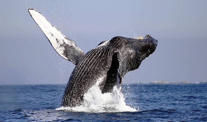 gray whale facts