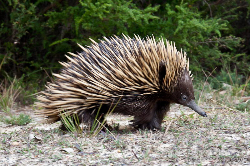 echidna facts for kids