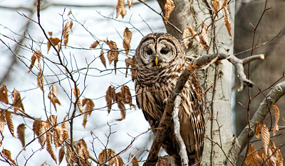 barred owl facts